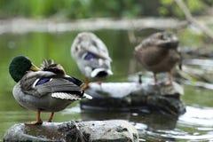 沐浴鸭子 免版税库存照片
