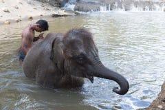 沐浴与亚洲大象的人 免版税库存图片