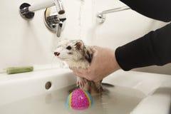 沐浴可爱的白鼬在面盆 免版税图库摄影