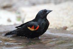 沐浴在一个浅池塘的美洲红翼鸫 免版税库存图片