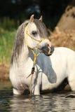 沐浴在河的华美的公马Potrait 免版税库存照片