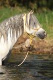 沐浴在河的华美的公马Potrait 库存照片