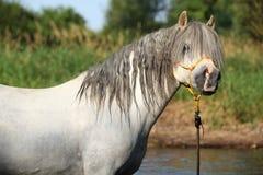 沐浴在河的华美的公马Potrait 库存图片