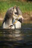 沐浴在河的华美的公马Potrait 免版税图库摄影