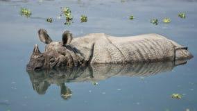 沐浴在河的犀牛在Chitwan国家公园,尼泊尔 库存照片
