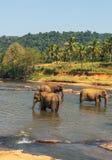 沐浴在河的Elepants吸引力 库存照片