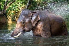 沐浴在热带湖的大象 免版税库存照片