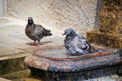 沐浴在水中的鸽子 库存图片