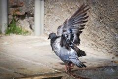 沐浴在水中的鸽子 免版税库存照片