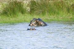 沐浴在水在更加伟大的圣卢西亚沼泽地公园世界遗产名录站点,圣卢西亚,南非中的两匹河马 库存照片