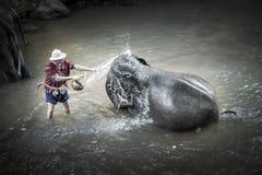 沐浴在Maesa大象阵营的大象 图库摄影