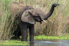 沐浴大象 库存图片