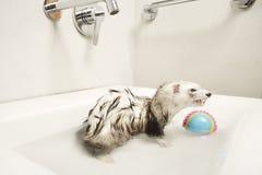 沐浴好白鼬女性在面盆 免版税图库摄影