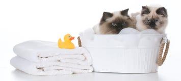 沐浴猫 免版税图库摄影