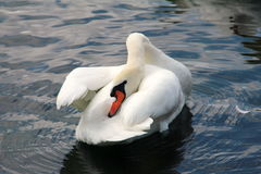 沐浴的天鹅 库存照片