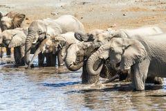 沐浴的非洲大象牧群喝和 免版税库存图片