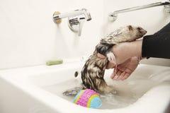 沐浴逗人喜爱的白鼬在卫生间面盆 免版税图库摄影