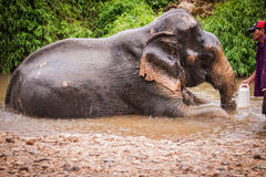 沐浴elefant mahout, Khao Sok圣所,泰国 免版税库存照片