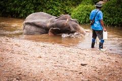 沐浴elefant mahout, Khao Sok圣所,泰国 免版税图库摄影
