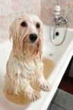 沐浴havanese的狗 免版税库存照片