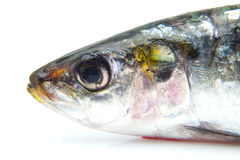 沙丁鱼的头 免版税库存照片
