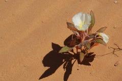 沙丘晚樱草 库存照片