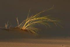 沙丘草 库存图片