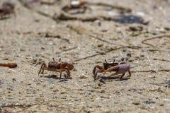 沙子招潮蟹, J n 丁亲爱的全国野生生物Refu 免版税库存照片