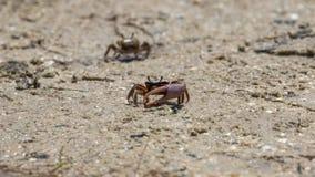 沙子招潮蟹, J n 丁亲爱的全国野生生物Refu 库存照片