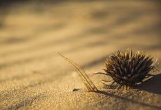沙子的干燥植物 库存图片