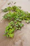 沙子的植物在3000 Bok在泰国 免版税库存图片