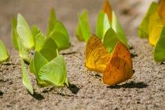 沙子的蝴蝶殖民地 免版税库存图片