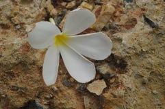 沙子石头表面上的白花 库存图片