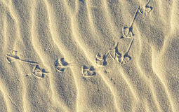 沙子背景起波纹在与鸟f印刷品的海滩  免版税库存图片