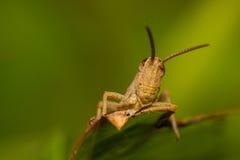 沙子色的蚂蚱 免版税库存照片