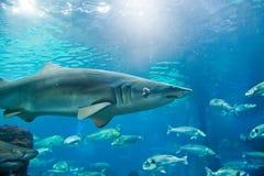 沙子虎鲨(Carcharias金牛座) 免版税库存照片