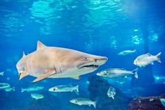 沙子虎鲨(Carcharias金牛座) 图库摄影