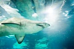 沙子虎鲨(Carcharias金牛座) 库存图片