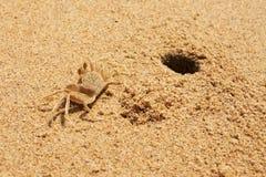 沙子螃蟹(Ocypode)和他的洞穴 免版税库存图片