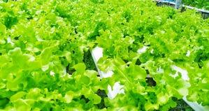 沙拉在有机农场 免版税库存照片