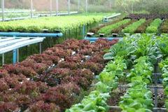 沙拉庄稼在水栽法农业和素食主义者概念的系统农场 免版税图库摄影