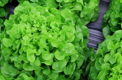 沙拉的,水耕的菜植物新鲜的莴苣蔬菜叶 库存照片