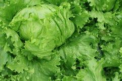 沙拉的,水耕的菜植物新鲜的莴苣蔬菜叶 库存图片