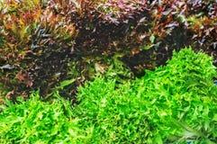 沙拉红色和绿色莴苣在地面的庭院里在湿气以后浇灌的下落在叶子的 背景 库存照片
