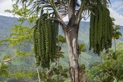 沙摩西岛海岛厂图片 棕榈果子 免版税库存图片
