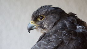 沙沙响的鹰 免版税库存照片