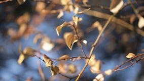 沙沙响黄色叶子树在户外秋天的风关闭射击 股票录像