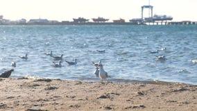 沙滩和有小船的海口的看法与海鸥的在码头 影视素材