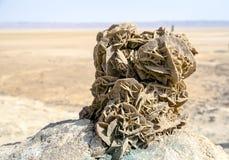 沙漠上升了 图库摄影