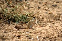 沙漠之鼠 免版税库存照片